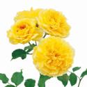Rosier MOLINEUX ® Ausgold