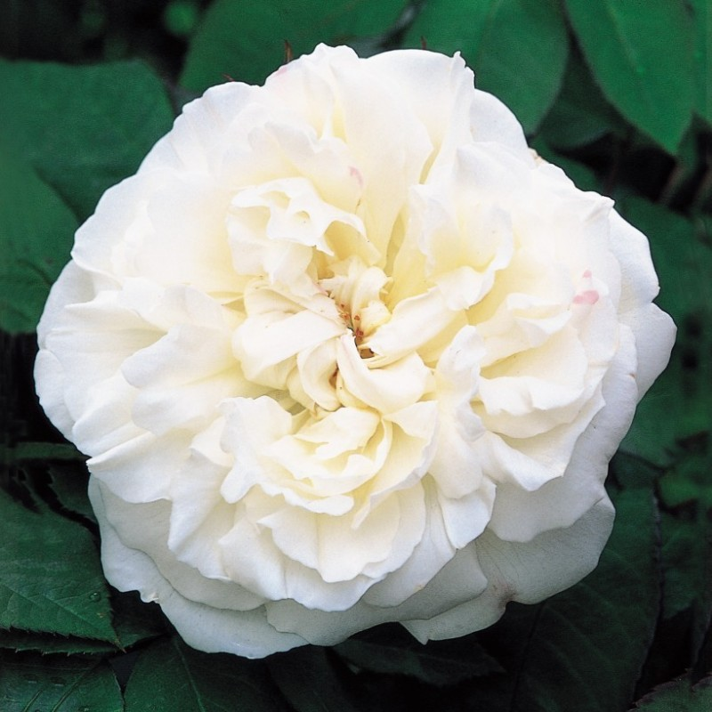 Rosa WINCHESTER CATHEDRAL ® Auscat