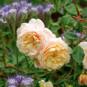 Rosa CROCUS ROSE ® Ausquest