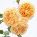 Rosier CROWN PRINCESS MARGARETA ® Auswinter