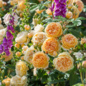 Roseto CROWN PRINCESS MARGARETA Auswinter