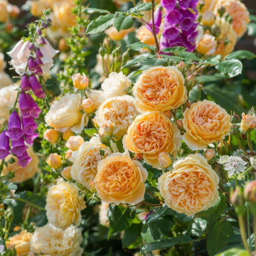 Rosa CROWN PRINCESS MARGARETA ® Auswinter