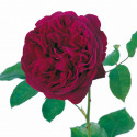 Rosa FALSTAFF ® Ausverse