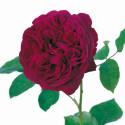 Rose FALSTAFF Climbing ® Ausverse