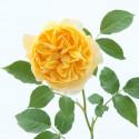 Rosa GRAHAM THOMAS ® Ausmas