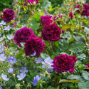 Rose MUNSTEAD WOOD ® Ausbernard