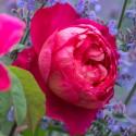 Rosa BENJAMIN BRITTEN ® Ausencart