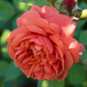 Rosa SUMMER SONG ® Austango