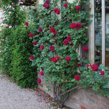 Rose FALSTAFF Climbing ®...