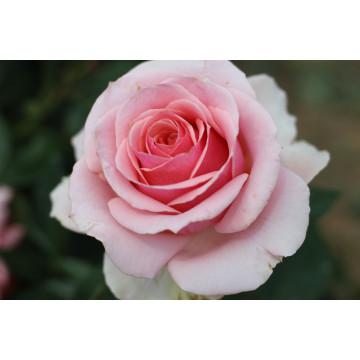 Rose MONTANA ® Royal Gebraucht