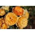 Rosa XCELLENCE DE FRONTIGNAN® Tan10553