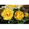 Rose RAYON DE SOLEIL ® Meianycid