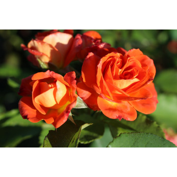 Rose FRESCO ® Ruico