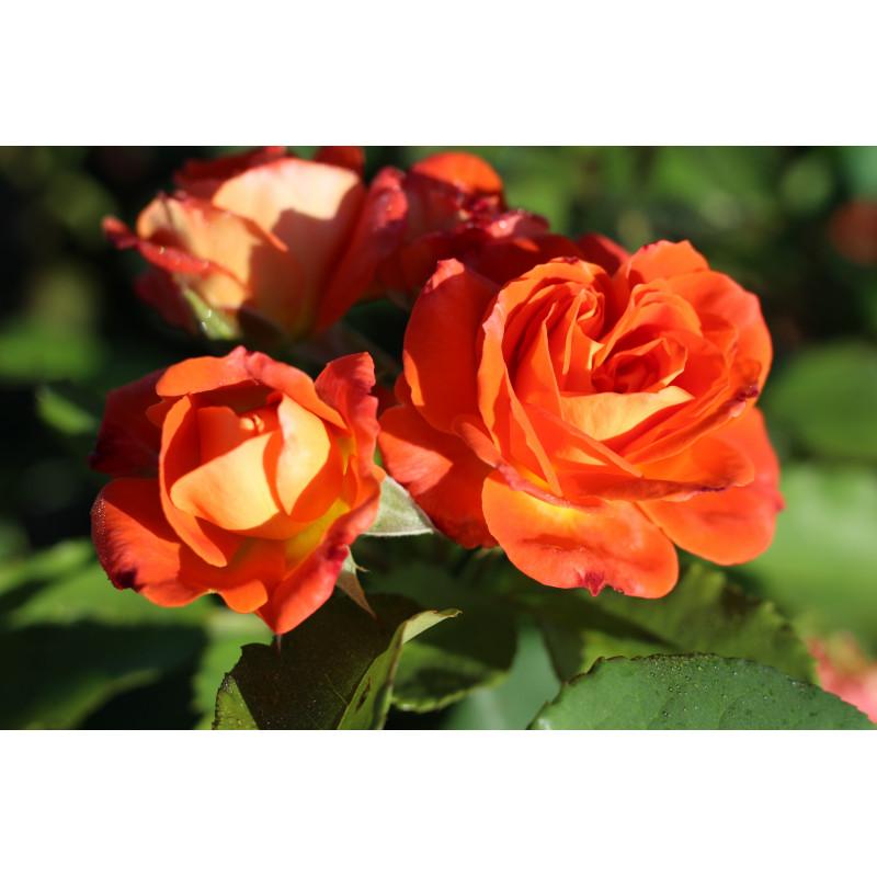 Rosa FRESCO ® Ruico