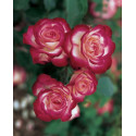 Rose STEM 100-120 cm JUBILE DU PRINCE DE MONACO®Meisponge
