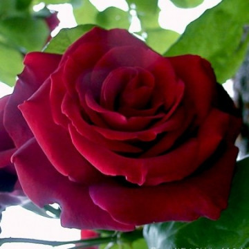 Roseto EDITH PIAF Gpt ® Meiramboysar