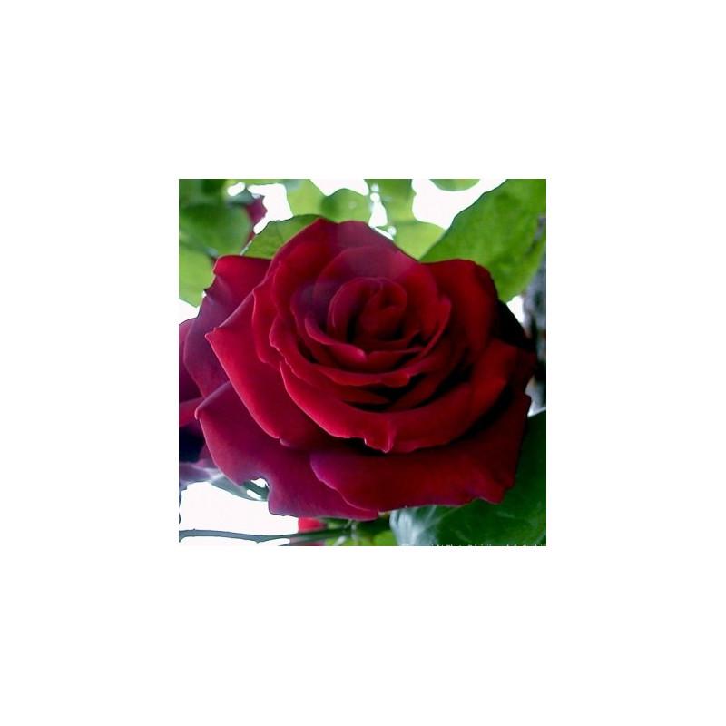 Rose EDITH PIAF Gpt ® Meiramboysar