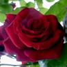 Rosier EDITH PIAF Gpt ® Meiramboysar