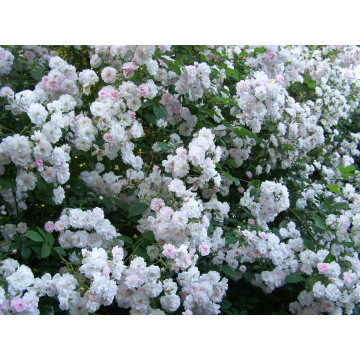 Rose PAUL'S HIMALAYAN MUSK