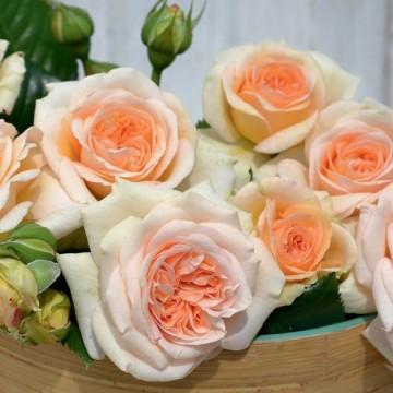 Rose AMBER VOLUPTIA ®...