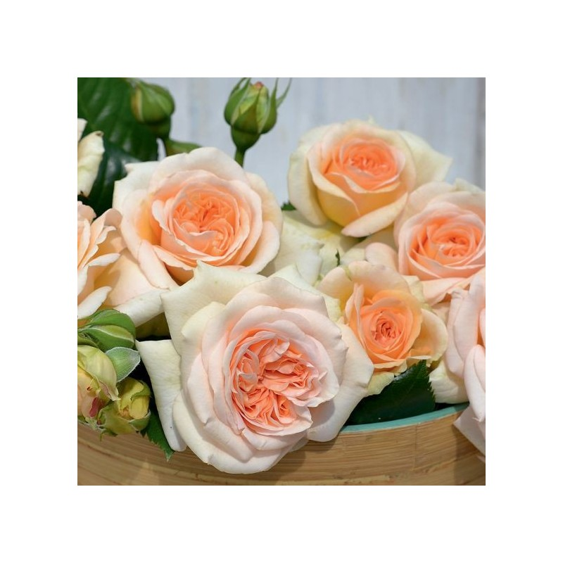 Rose AMBER VOLUPTIA ® Noa1112130