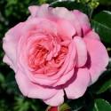Roseto PINK VOLUPTIA ® Noa1811108