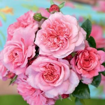Rosa PINK VOLUPTIA ®...