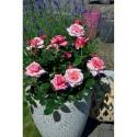 Rosa PINK VOLUPTIA ® Noa1811108