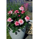 Rose PINK VOLUPTIA ® Noa1811108