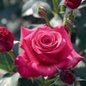 Rosa CRAZY PINK VOLUPTIA ® Noa38121