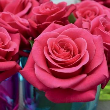 Rosa CRAZY PINK VOLUPTIA ®...