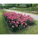 Roseto CRAZY PINK VOLUPTIA ® Noa16071