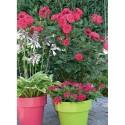 Rose CRAZY PINK VOLUPTIA ® Noa16071