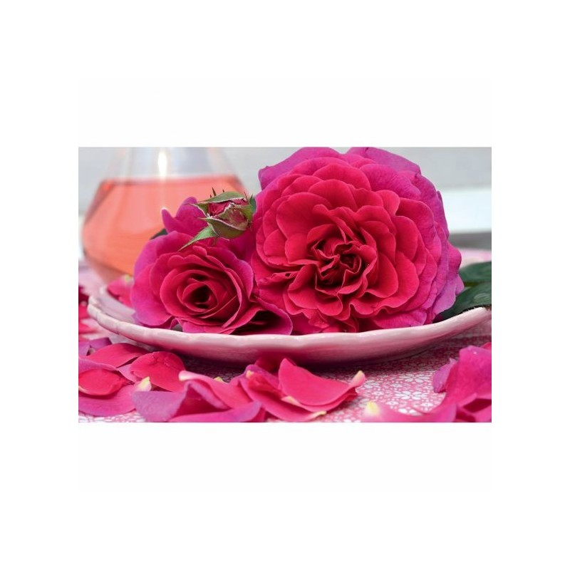 Rose PURPLE VOLUPTIA ® Noa38121