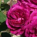 Rosa PURPLE VOLUPTIA ® Noa38121