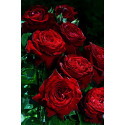 Rosa BOREALE ® Tan03025