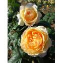 Rosa SHERAZADE ® Lajabo