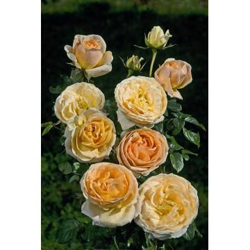Rose SHERAZADE ® Lajabo