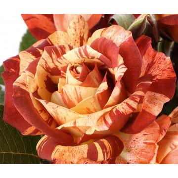 Rose POSEIDON ® Oralodsem
