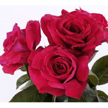 Rose REINE DES PARFUMS ® Ora9898B