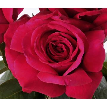 Roseto REINE DES PARFUMS ® Ora9898B
