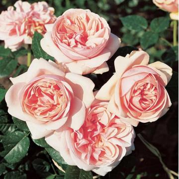 Rosa LAURETTE FUGAIN ® Tan00847