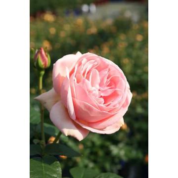 Rose LAURETTE FUGAIN ® Tan00847