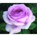 Rosa THE PRIDE ® Nirplender