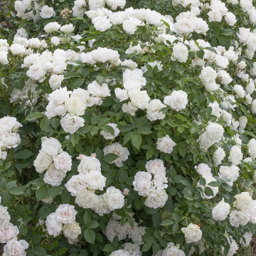 Rose Crème CHANTILLY ® Meiradena