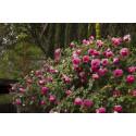 Roseto Cyclamen PIERRE DE RONSARD ® Margaret Mae