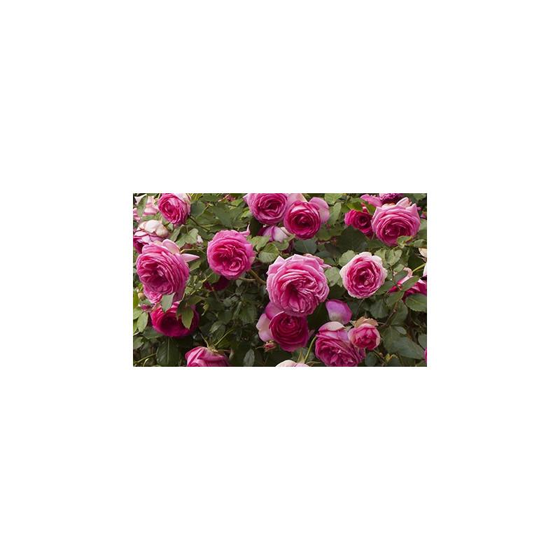 Rose Cyclamen PIERRE DE RONSARD ® Margaret Mae
