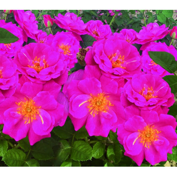 Rose BABY BLUE ® Nirpvlet