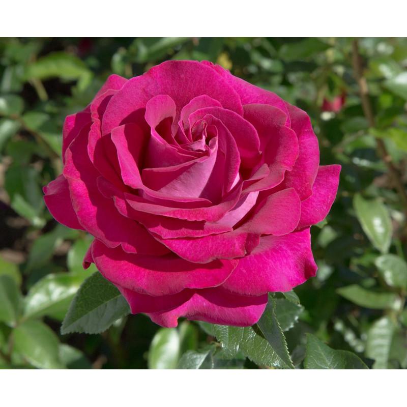 Rose BELLES RIVES ® Meizolnil