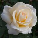 Rose CHRISTOPHE DECHAVANNE ® Meibarbaru